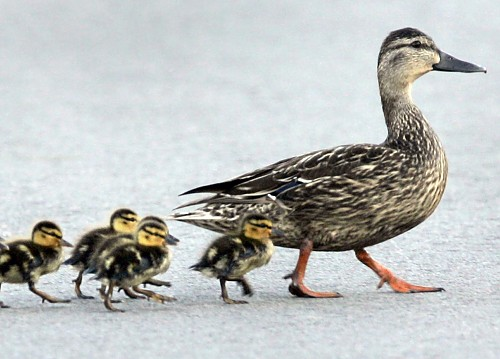 Ducklings following momma duck